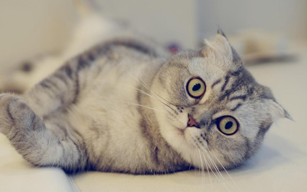 A pet cat responds to a human call
